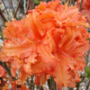 Picture of Azalea Copper Frills
