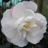 Picture of Camellia Beatrice Emily