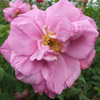 Picture of Belle Poitevine-Rose