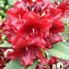 Picture of Rhododendron Black Magic