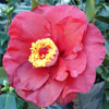Picture of Camellia Bob Hope