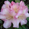 Picture of Rhododendron Bruce Bretchbill