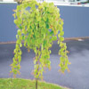 Picture of Cercidiphyllum J Pendulum H/W