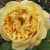 Picture of Charles Darwin-Rose