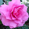 Picture of Camellia Chansonette