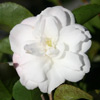 Picture of Camellia Cinnamon Cindy