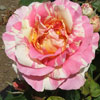 Picture of Claude Monet-Rose