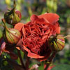 Picture of Colorbreak Std 80cm-Rose