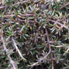 Picture of Coprosma Flat Freddy
