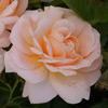 Picture of Crystal Palace-Rose