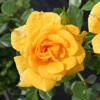 Picture of Daltons Gold-Rose