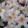Picture of Rhododendron Dendricola