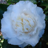 Picture of Camellia Elegans Champagne