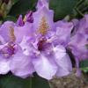 Picture of Rhododendron Fastuosum Flore Pleno