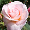 Picture of Fond Memories Std 80cm-Rose