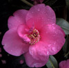 Picture of Camellia Gay Baby Espalier