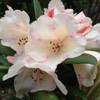 Picture of Rhododendron Grumpy Dwf