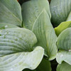 Picture of Hosta Blue Boy