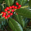 Picture of Ilex Burfordii
