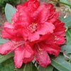 Picture of Rhododendron Iverys Scarlet