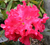 Picture of Rhododendron Jean Marie De Montague
