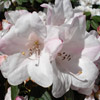 Picture of Rhododendron John Bull