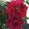 Picture of Josephine Bruce Clg-Rose