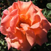 Picture of Lady Barbara Clg-Rose