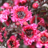 Picture of Leptospermum Wiri Kerry