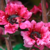 Picture of Leptospermum Rosy Morn