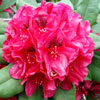 Picture of Rhododendron Lord Roberts