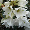 Picture of Rhododendron maddenii virginalis
