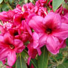 Picture of Rhododendron Midnight