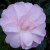 Picture of Camellia Mimosa Jury
