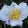 Picture of Camellia Mothers Day