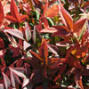 Picture of Nandina Gulfstream