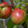 Picture of Nectarine Goldmine