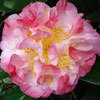 Picture of Camellia Nuccios Jewel