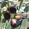 Picture of Olea El Greco Std