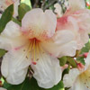Picture of Rhododendron Ostbos Low Yellow
