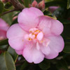 Picture of Camellia Our Melissa Espaliered