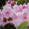 Picture of Rhododendron Pink Pearl