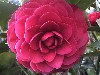 Picture of Camellia Roger Hall