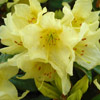 Picture of Rhododendron Saffron Queen