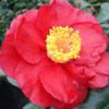 Picture of Camellia San Dimas