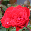 Picture of Satchmo-Rose