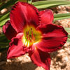 Picture of Hemerocallis Scarlet Orbit