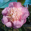 Picture of Camellia Sugar Dream