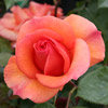 Picture of Sunny Honey-Rose