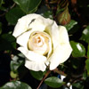 Picture of Swan Lake Clg-Rose